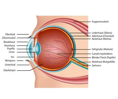 Infos Zur Anatomie Des Menschlichen Auges Beschreibung Des